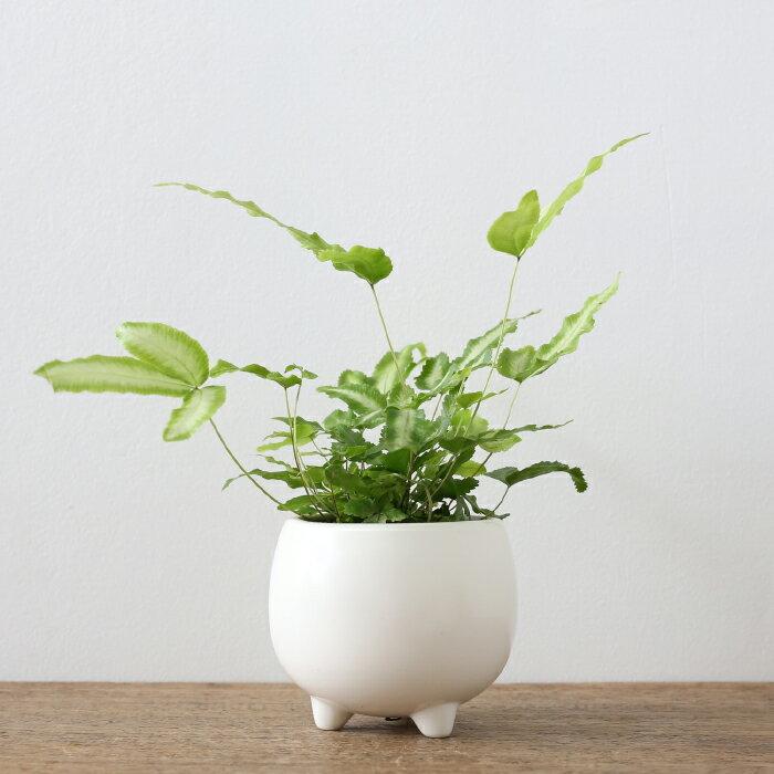 観葉植物 おしゃれ プテリス・アルボリネアータ(日陰 小さい 初心者 三つ足ポット)
