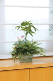 《光触媒観葉植物》寄せ植えパキラ〔テーブルタイプ〕ギフトで人気【楽ギフ包装】【楽ギフのし宛書】【楽ギフメッセ入力】【RCP】