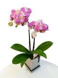 《ミディ胡蝶蘭》9か月咲く アンスラパレルモ 2本立ち シルバー鉢(こちょうらん)/誕生お祝いで好評。注文後翌営業日出荷可能。贈り物 洋蘭 洋ラン 蘭鉢 激安 プレゼント 就任祝い