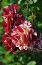 【大苗】 バラ苗 ベルデスピヌーズ (Gen絞赤) 国産苗 6号鉢植え品《OM-GU》