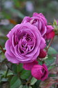 【大苗】 バラ苗 プラムパーフェクト (FL紫) 国産苗 6号鉢植え品《IRO-IR3》2018新品種秋