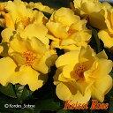 【大苗】 バラ苗 レモンフィズ (FL黄) 国産苗 6号鉢植え品《IRO-IR3》2018新品種秋