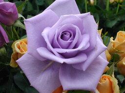 バラ苗【中苗】マダムヴィオレ【マダム<strong>ビオレ</strong>】(HT紫) 国産苗 6号鉢植え品《J-HT10》