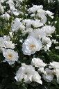 【大苗】バラ苗 アイスバーグ (FL白) 国産苗 6号鉢植え品【即納】《YM-B_J-MC》