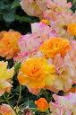 バラ苗【新苗】サハラ98 (Cl橙) 国産苗【即納】《J-CL10》