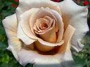 ●予約新苗● ジュリア (HT茶色) 国産苗 新苗 ● 【四季咲き.木立.大輪.ハイブリッド・ティー