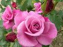 ※ショッキングブルー  (FL赤紫) 国産苗 大苗 6号鉢植え品 ★※1月末までにお届けの予約大苗
