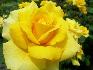 ゴールドバニー 四季咲き フロリバンダ