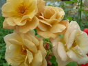 ◆即納 【バラ苗】 バタースコッチ (Cl茶色) 国産苗 中苗 6号鉢植え品 ○ 【つるバラ.ツルバラ.つるばら】 《NON15》 ●○●