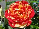 ●即納 【バラ苗】 まつり 【祭り】 (Cl絞) 国産苗 新苗 ● 【つるバラ.ツルバラ.つるばら】