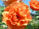 ※※※【バラ苗】 ロイヤルサンセット (Cl橙) 国産苗 新苗 ○ 【つるバラ.ツルバラ.つるばら】 ※5月末までにお届けの予約新苗