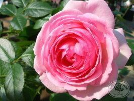 【バラ苗】 ピエールドゥロンサール  (Ant桃)  Click!