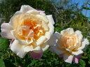 グルスアンアーヘン 四季咲き フロリバンダ