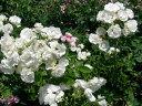 ◆即納 【バラ苗】 サマースノー (FL白色) 国産苗 中苗 6号鉢植え品 ● 【四季咲き.木立.中輪房咲き.フロリバンダ】《NFL-15》