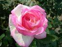 ◆即納 【バラ苗】 つるプリンセスドゥモナコ (Cl桃色) 国産苗 中苗 6号鉢植え品 ● 【つるバラ.ツルバラ.つるばら】《NCL-15》 期間限定