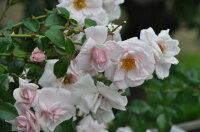◇【バラ苗】 ニュードーン (CL桃) 国産苗 新苗 6号鉢植え品 ● 【つるバラ.ツルバラ.つるばら】