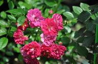 ◇【バラ苗】 スーパーエクセルサ  (Cl赤色) 国産苗 新苗 6号鉢植え品 ● 【つるバラ.ツルバラ.つるばら】