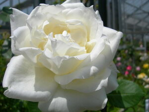 ネージュパルファン 四季咲き ハイブリッド