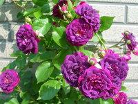 ◇【バラ苗】 ブルーマジェンタ (R紫色) 国産苗 新苗 6号鉢植え品 ● 【オールドローズ.ランブラローズ】