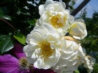 ◇【バラ苗】 シティオブヨーク (Cl白) 国産苗 新苗 6号鉢植え品 ● 【つるバラ.ツルバラ.つるばら】