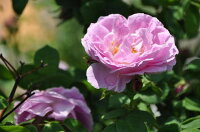 ◇【バラ苗】 ブルボンクイーン (B桃) 国産苗 新苗 6号鉢植え品 ● 【オールドローズ.ブルボンローズ】