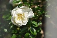 ◇【バラ苗】 ガーデニア (R白) 国産苗 新苗 6号鉢植え品 ● 【オールドローズ.ランブラローズ】