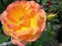 【バラ苗】 サハラ98 (Cl橙) 国産苗 大苗 6号鉢植え品 ★ 【つるバラ.ツルバラ.つるばら】