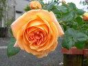 ◆即納 【バラ苗】 ルーピング (Cl杏橙) 国産苗 中苗 6号鉢植え品 ○ 【つるバラ.ツルバラ.つるばら】 《NON15》 ●○●
