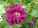 ◆即納 【バラ苗】 ニュイドゥヤング (M紫) 国産苗 中苗 6号鉢植え品 ○ 【オールドローズ.モスローズ】 《NON15》 ●…