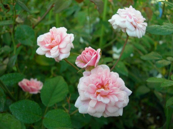 ◆即納【バラ苗】つるセシルブルンネ (ClPol桃) 国産苗 中苗 6号鉢植え品 ○《J-OC20》