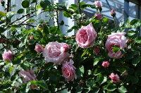 ◇【バラ苗】 羽衣【はごろも】 (Cl桃) 国産苗 新苗 6号鉢植え品 ● 【つるバラ.ツルバラ.つるばら】