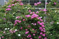 ◇【バラ苗】 ゼフィリンドルーアン (B桃色) 国産苗 新苗 6号鉢植え品 ● 【オールドローズ.ブルボンローズ】