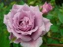 【バラ苗】 センチレイティングブルース (Min紫色) 国産苗 新苗 5号鉢植え品 ○ 【ミニバラ】