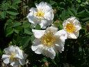 ◆即納 【バラ苗】 ヘーベスリップ (D白) 国産苗 中苗 6号鉢植え品 ○ 【オールドローズ.ダマスクローズ】 《NON15》 ●○●
