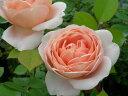即納 【バラ苗】 アンブリッジローズ (低ER杏) 国産苗 大苗 6号鉢植え品 ★ 【イングリッシュローズ.四季咲き】