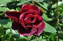 ◆即納 【バラ苗】 つるシャトードクロヴィージョ (CLHT黒赤) 国産苗 中苗 6号鉢植え品 ● 【つるバラ.ツルバラ.つるばら.ハイブリットティ】《NCL-15》
