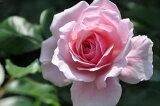 ※ ピンクストリーム (Cl桃) 国産苗 大苗 6号鉢植え品 ★※1月末までにお届けの予約大苗