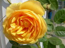 即納 【バラ苗】 グラハムトーマス (高ER黄) 輸入苗 大苗 6号鉢植え品 □ 【イングリッシュローズ】