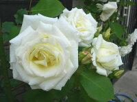 ◇【バラ苗】 ポールズレモンピラー (Cl白黄) 国産苗 新苗 6号鉢植え品 ● 【つるバラ.ツルバラ.つるばら】