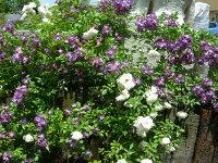 【バラ苗】 ブルー ランブラー【ファイルフェンブラウ】 (R紫) 国産苗 新苗 5号鉢植え品 ● 【オールドローズ.ランブラローズ】
