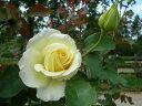 四季咲き ハイブリッド