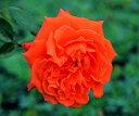 予約 【バラ苗】 ブライトファイヤー (Cl橙) 国産苗 大苗 6号鉢植え品 ☆ 【つるバラ.ツルバラ.つるばら】※3月末までにお届けの予約大苗 《ZEK》