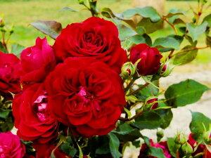 スーリールドゥモナリザ アンティーク 四季咲き フロリバンダ