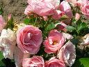 2010年品種【バラ苗】 ブーケマリエ (Del桃) 国産苗 大苗 6号鉢植え品 ☆ 【デルバール】