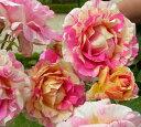 クロードモネ 四季咲き ハイブリッド