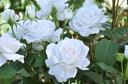 アンナプルナ 四季咲き ハイブリッド