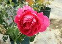 ◆即納【バラ苗】フレグラントオールドパープル (Sh赤紫) ...