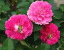 予約 【バラ苗】 ピンクグリーンアイス (Min桃) 国産苗 大苗 6号鉢植え品 ☆ 【ミニバラ】※3月末までにお届けの予約大苗 《MA》