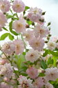 ブリーズパルファン 四季咲き シュラブローズ