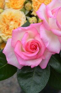 プリンセスドゥモナコ 四季咲き ハイブリッド